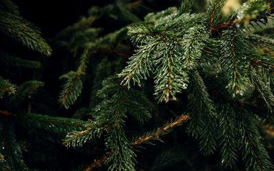 Oplever du problemer med fugle på dine juletræer?